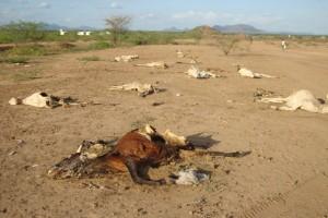 Carcasse di Bovini durante la siccità in Kenya a Wajir. Credits: Oxfam